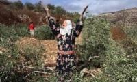 نابلس: المستوطنون أحرقوا 750 شجرة زيتون معمّرة بالمواد الكيماوية خلال اسبوع