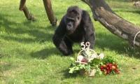 فيديو : أنثى غوريلا تحتفل بعيد ميلادها الـ59